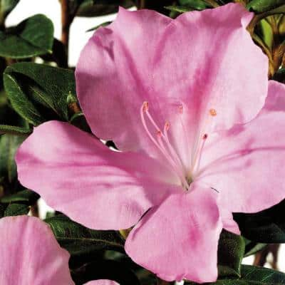 3 Gal. Autumn Sweetheart Shrub with Soft Pink Reblooming Flowers