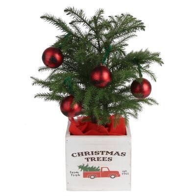 4 in. Fresh Norfolk Island Pine, 10 in. to 12 in. Tall in Decor Pot