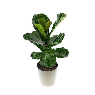 1.9 Gal. Ficus Lyrata Plant in 9.25 In. Designer Pot