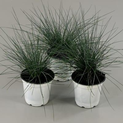 0.5 qt. Elijah Blue Fescue Grass (3-Piece)