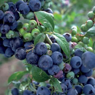 2.5 Gal - Premier Blueberry (Rabbiteye) Bush - Fruit-Bearing Shrub