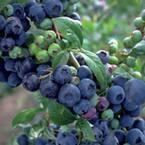 9.25 in. Premier Blueberry (Rabbiteye) Bush - Fruit-Bearing Shrub
