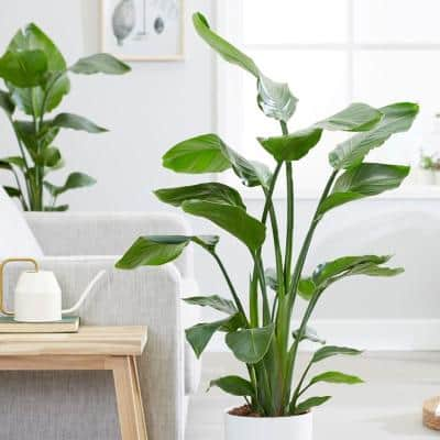 1.9 Gal. Bird of Paradise Plant White Flower in 9.25 in. Grower Pot