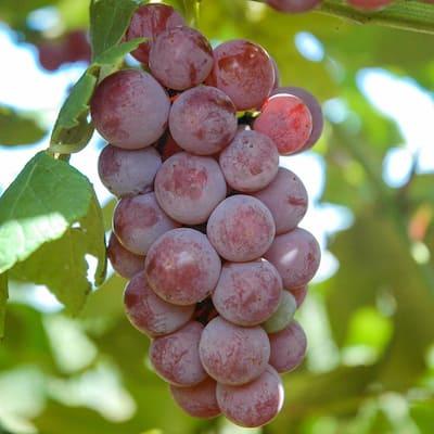 Somerset Seedless Grape Vine Vitis Live Bareroo Fruiting Plant (1-Pack)