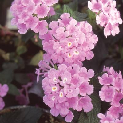 2.5 Qt. Purple and Lavender Lantana Plant