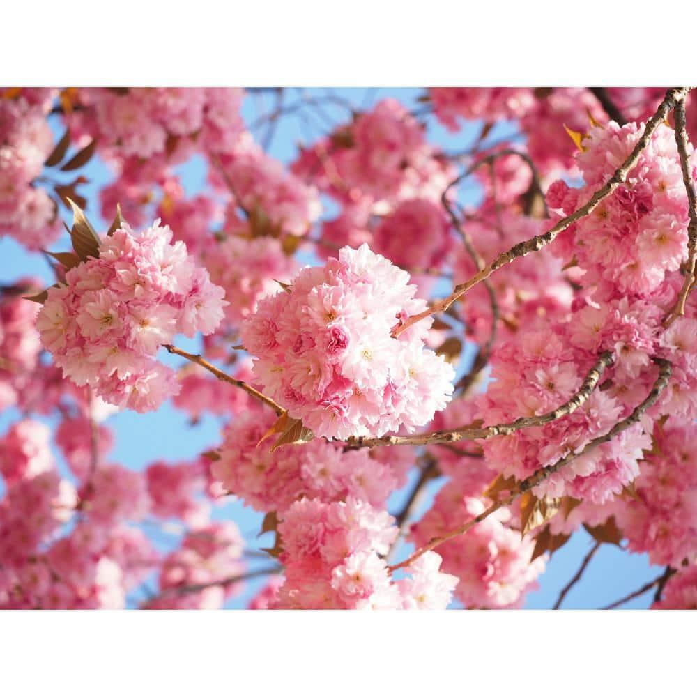Wood Cherry Tree 10 cm Deco Spring