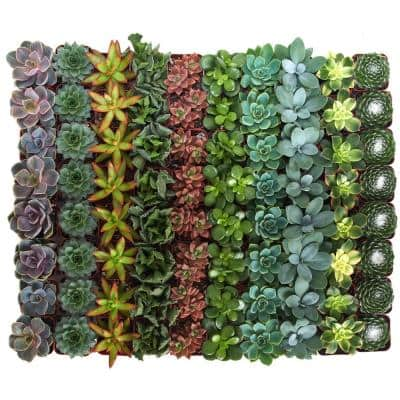 2 in. Assorted Succulent (Collection of 64)