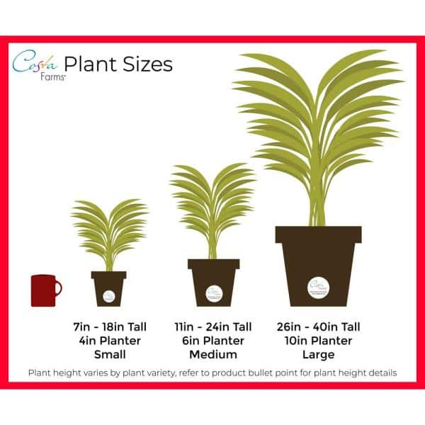 Costa Farms Golden Goddess Philodendron Plant In 6 In Ceramic Pot Co 3 1 41goldgd Trtr The Home Depot