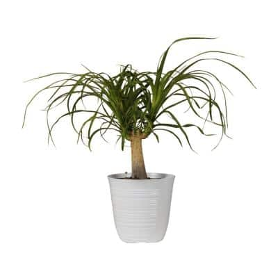 12 in. to 18 in. Tall Ponytail Palm Plant in White Decor Pot