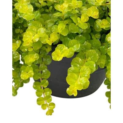 1.8 Gal. Creeping Jenny Lysimachia Plant in 11 In. Hanging Basket