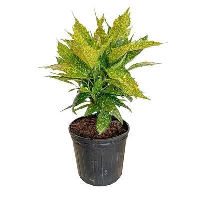 9.25 in. Pot - Variegated Gold Dust Aucuba, Live Evergreen Shrub Plant