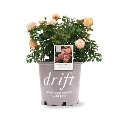 3 Gal. The Apricot Drift Rose Bush with Orange Flowers (2-Plants)