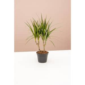6 in. Dracaena Marginata (Dracaena Marginata) Plant in Grower Pot