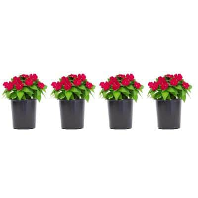 2.5 Qt. SunPatiens Pink Impatien Outdoor Annual Plant with Rose Flowers in 6.3 In. Grower's Pot (4-Plants)