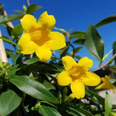 2.5 Qt. Carolina Jessamine Climbing Vine Plant with Yellow Fragrant Blooms