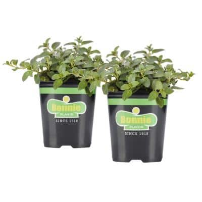 19.3 oz. Peppermint Plant 2-Pack
