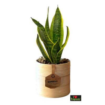 5 in. Snake Plant (Sansevieria) Plant with Natural Spun Bamboo Pot