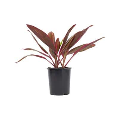 2.5 Qt. Cordyline Red Sister Plant 6.33 in. Grower's Pot