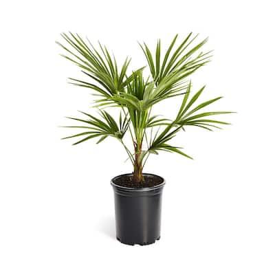 3 Gal. Windmill Palm Tree in Pot