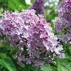 Lilac Purple Root Stock (1-Set)