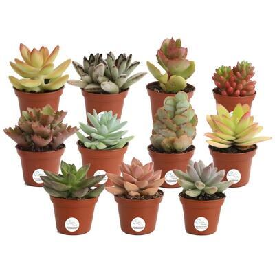 2 in. Mini Unique Succulents in Round Grower Pot (11-Pack)