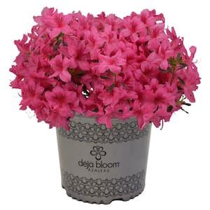 2 Gal. Orchid Showers Deja Bloom Azalea Flowering Shrub with Pink Blooms