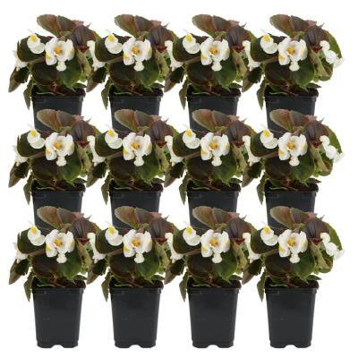 1 Pt. White Begonia Flowers in Grower Pot (12-Pack)
