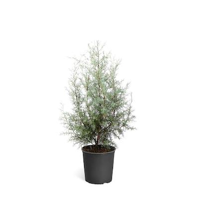 3 Gal. Evergreen Arizona Cypress Tree