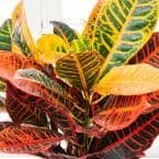 4 in. Pot Petra Croton, Live Potted Tropical Plant (1-Pack)