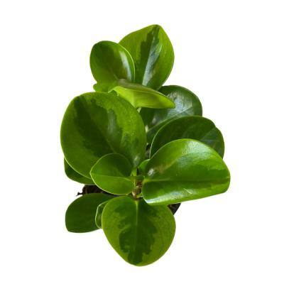 4 in. Plastic Pot Peperomia Baby Rubber Plant, Live Potted Plant (1-Pack)
