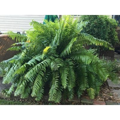 1.9 Gal. Macho Fern Plant in 9.25 in. Grower Pot