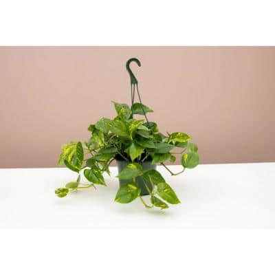8 in. Hanging Golden Pothos (Epipremnum aureus) Plant in Grower Pot