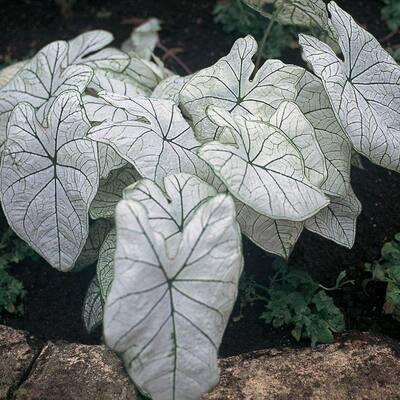 1 Gal. White Caladium Plant