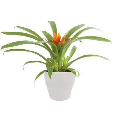 Bromeliad Plant Grower's Choice Colors in 4 in. Decor Pot