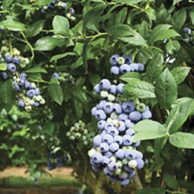 2.5 Gal - Tifblue Blueberry (Rabbiteye) Bush - Fruit-Bearing Shrub