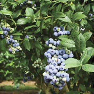 2.5 Qt. Tifblue Blueberry (Rabbiteye) Bush - Fruit-Bearing Shrub