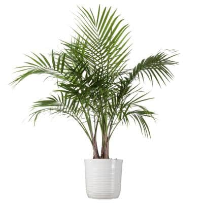 Majesty Palm Plant 24 in. to 34 in. Tall in 10 in. White Decor Pot