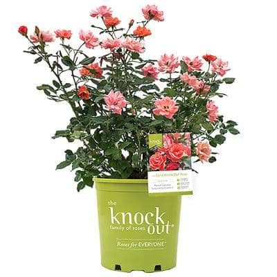 2 Gal. The Coral Knock Out Rose Bush with Brick Orange to Pink Flowers