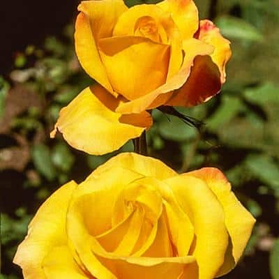Gold Medal Grandiflora Rose, Live Bareroot Plant, Yellow Color Flowers (1-Pack)