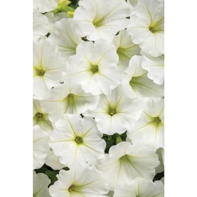 4.25 in. Grande Supertunia White Flowers Vista Snowdrift (Petunia) Live Plant (4-Pack)