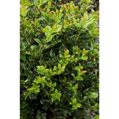 1 Gal. Blue Boy Holly Shrub With Glossy Blue-Green Leaves and Powerful Pollinating Capabilities