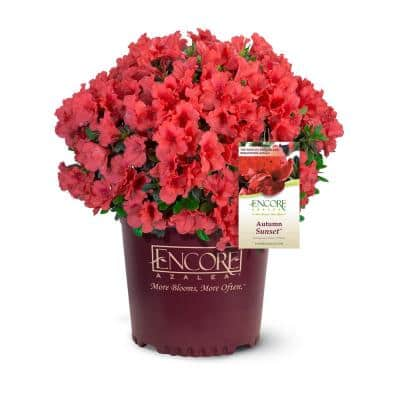2 Gal. Autumn Sunset Shrub with Bright Red Flowers
