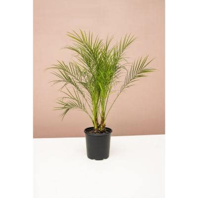 10 in. Pygmy Date Palm (Phoenix Roebelenii) Plant in Grower Pot