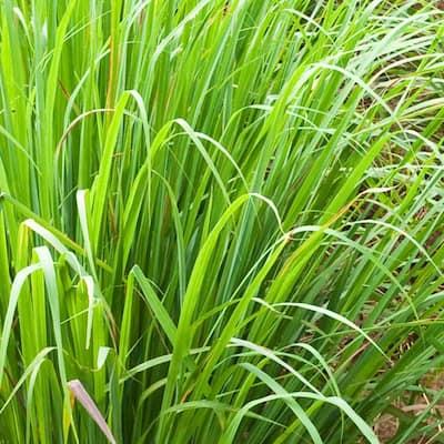 Lemon Grass Plant (4-Piece)