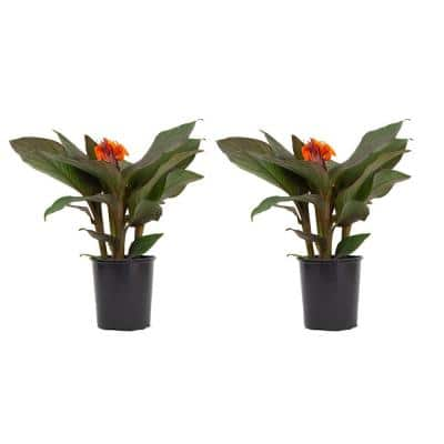 2.5 Qt. Canna Lily Plant Orange Flowers in 6.33 In. Grower's Pot (2-Plants)