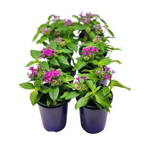 1.38 Pt. Penta Plant Lavender Flowers in 4.5 In. Grower's Pot (8-Plants)