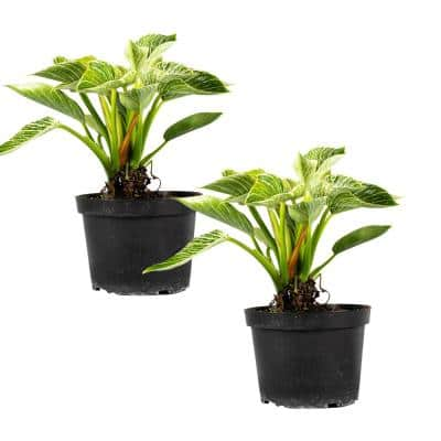 Birkin Philodendron Rare (Araceae) Live Plant in 6 in. Growers Pot (2-Pack)