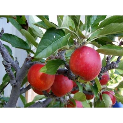 Dwarf Fuji Apple Tree Bare Root