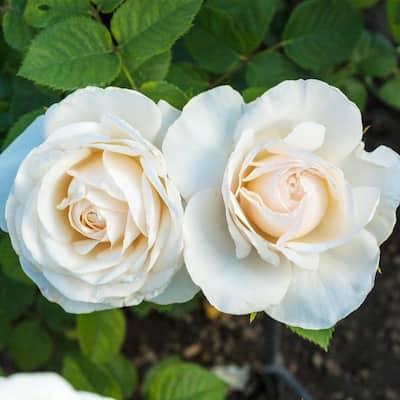 Easy Spirit Floribunda Rose, Live Bareroot Plant with White Flowers (1-Pack)