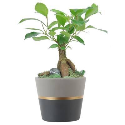 Petite Bonsai Juniper in 4.75 in. Ceramic